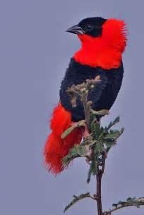 Northern Red Bishop Bird