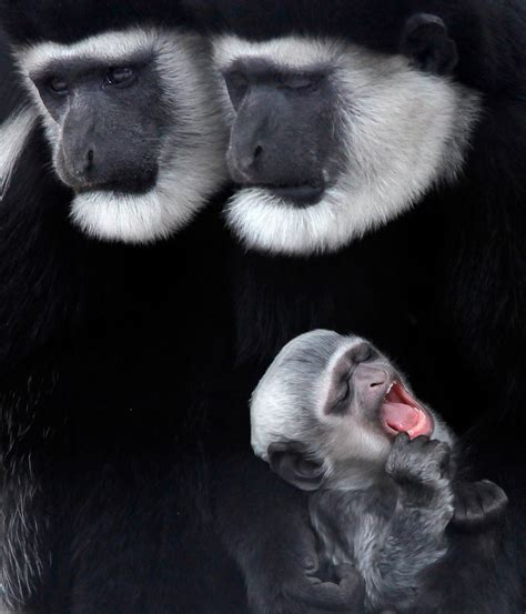 natural boston colobus monkey monkeys baby animals associated singing zoo lightning funny
