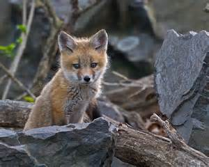 Baby Red Foxes