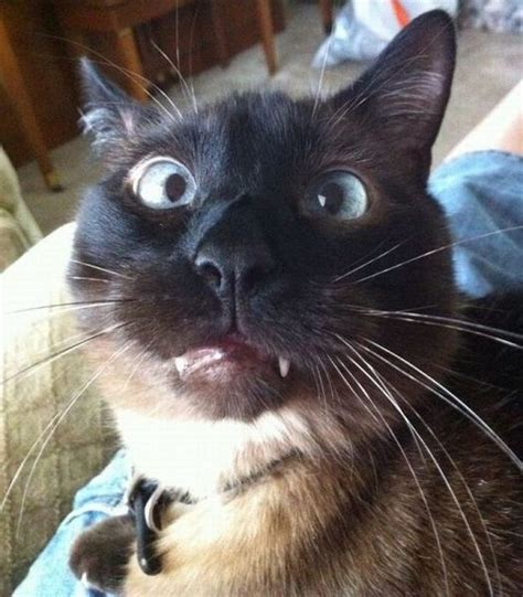 Cats Making Funny Faces  10 Most Wanted