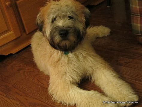do wheaten terriers shed allergies asthma eczema and a the food allergy
