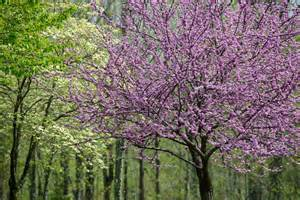 the best flowering trees in the in carolina point of blue