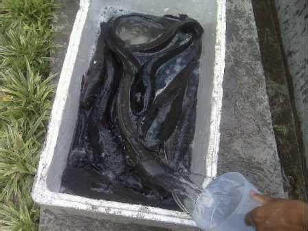 Jual Bibit Lele Sangkuriang Pontianak jual induk ikan lele sangkuriang phyton masamo mutiara