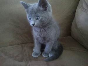 Russian Blue Kittens/ Vaccine +warm | Peterborough ...