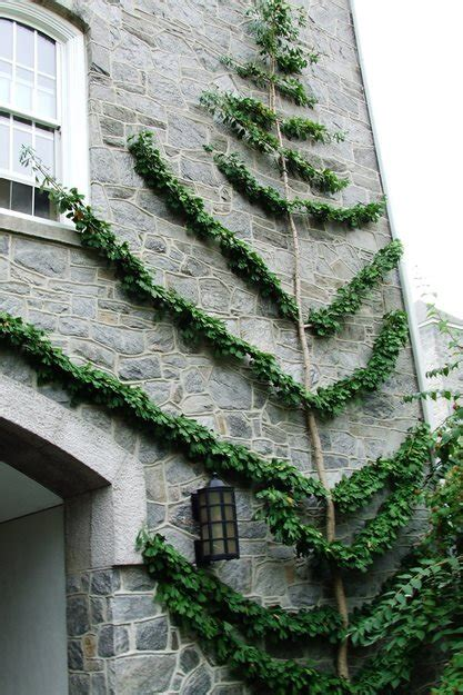 espalier trees garden ginkgo espaliered trained wall palmette swarthmore college oblique espaliers resides lanky gingko favorite immense stone shrubs races