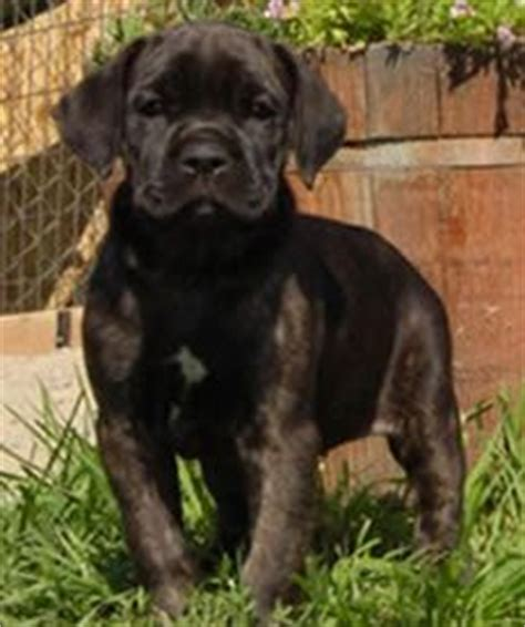 17 best ideas about cane corso temperament on pinterest