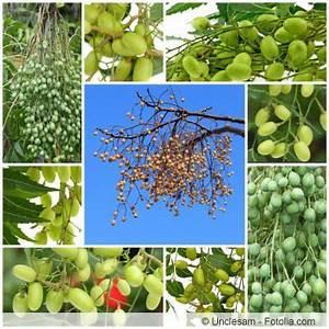 Neem Gegen Blattläuse : niembaum neem azadirachta indica pflege anwendung ~ Watch28wear.com Haus und Dekorationen