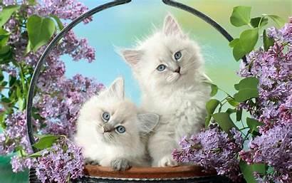Cats Basket Cat Wallpapers Kittens Desktop Lovely