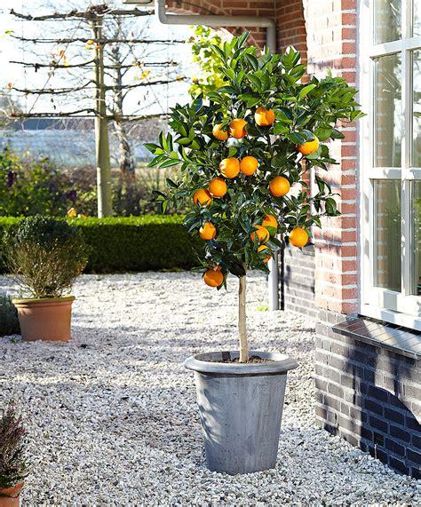 planter un oranger en pot achetez maintenant une plante en pot oranger bakker