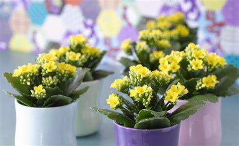 Zimmerpflanzen Richtig Pflegen 7 Tipps by Flammendes K 228 Thchen Zimmerpflanzen Zimmerpflanzen
