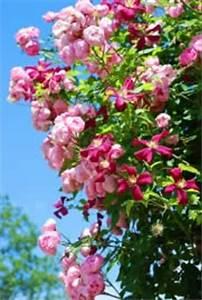 Hopfen Im Kübel Pflanzen : kletterpflanzen einj hrig pflanzen f r nassen boden ~ Markanthonyermac.com Haus und Dekorationen