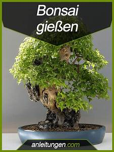 Wie Oft Muss Man Einen Kaktus Gießen : bonsai gie en wie oft und auf welche weise muss man einen bonsai gie en in dieser anleitung ~ Orissabook.com Haus und Dekorationen