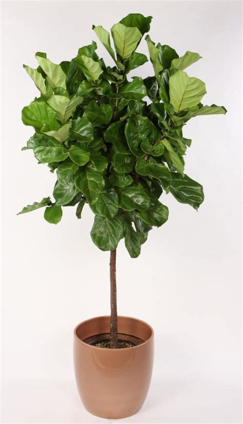 ficus lyrata the popular elusive fiddle leaf fig tree astral riles