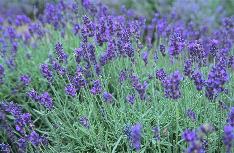 when do you plant lavender 42 flowers you can eat and how you can eat them