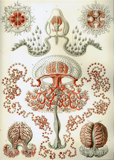 Lithography Illustration Ernst Haeckel Kunstformen