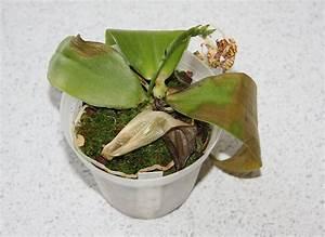 Orchidee Klebrige Tropfen : frostsch den an phalaenopsis bei 10 grad majas pflanzenblog ~ Lizthompson.info Haus und Dekorationen