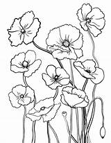 Poppy Coloring Pages Flower Sheets Colouring Printable Coloringcafe Flowers Printables Adult Drawing Pdf Sheet Drawings Template Stained Glass Patterns Watercolor sketch template