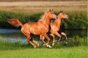 Arabian horses aren't built like the others | 12 ...