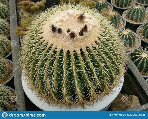Barrel Cactus Echinocactus Grusonii , Queen Sirikit ...