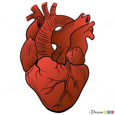 human heart drawing step  step drawing lessons