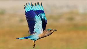 Indian Roller Bird | Charismatic Planet  Bird