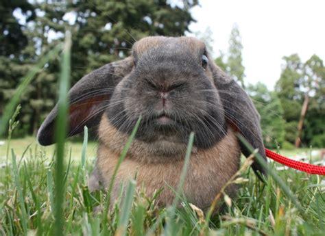 cuisine a vivre le lapin nain alimentation mode de vie soins