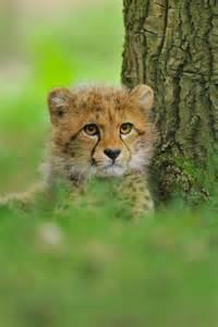 Cheetah Cubs Cute Animals