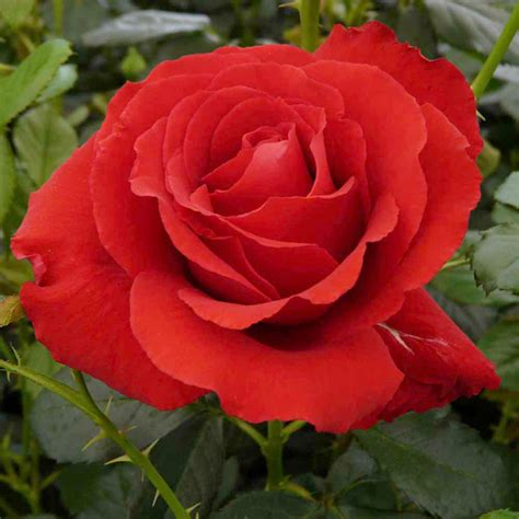 what to plant with roses rose plant carris harkness roses flowers garden dobies