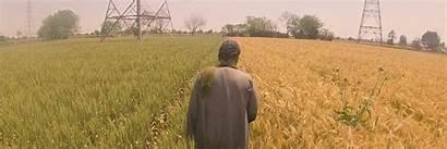 Wheat Fao Nations Egypt Farmer Field United
