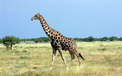 Bilder Giraffen