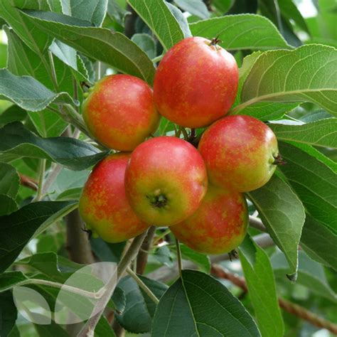 crab apples trees malus john downie crab apple trees for sale