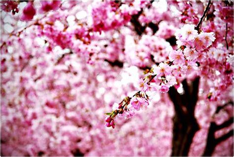 background bunga sakura joy studio design gallery