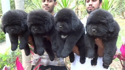 simha kennels offers canadian import newfoundland pups