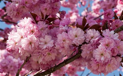 flowering cherry tree problems related keywords suggestions for kwanzan cherry tree