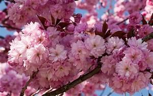 Prunus Kwanzan