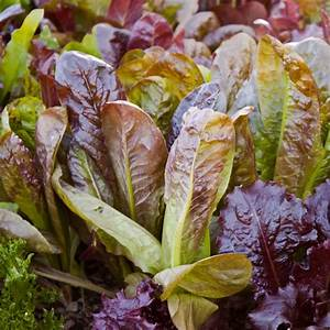 Heirloom Red Romaine Lettuce Seeds   Grow Red Romaine Lettuce