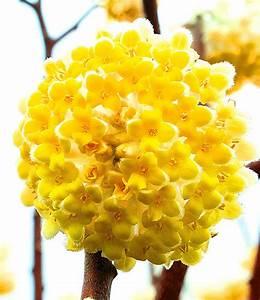 Blühende Sträucher Winterhart : winterharte edgeworthia grandiflora baldur garten ~ Whattoseeinmadrid.com Haus und Dekorationen