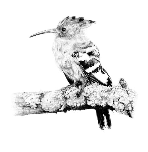african hoopoe drawing  malcolm bowling