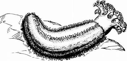 Cucumber Sea Vector Clip Clipart Svg Drawing