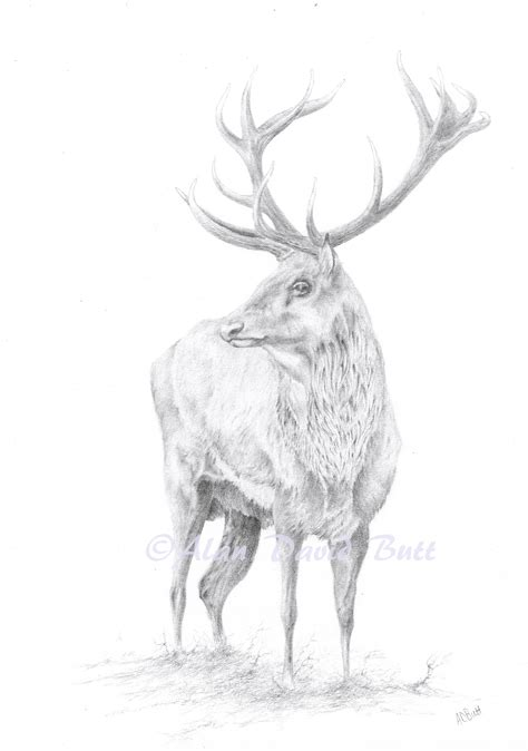 fine foothills exmoor stag drawing alan david butt