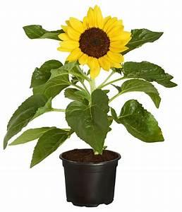Sonnenblume Im Topf : sonnenblume dehner ~ Orissabook.com Haus und Dekorationen