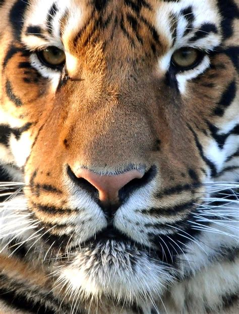 Spotted Tiger Trail Animals Beautiful