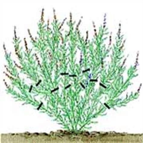 wann pflanzen zurückschneiden lavendel schneiden dr schweikart