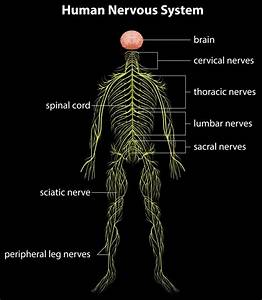 How Many Nerves Are In The Spine