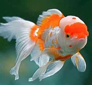 Live Goldfish And Discus Fish Wholesale Trader
