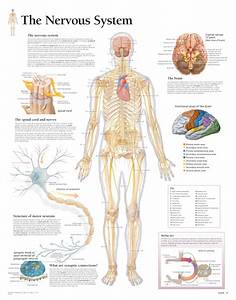 The Nervous System  U2013 Scientific Publishing