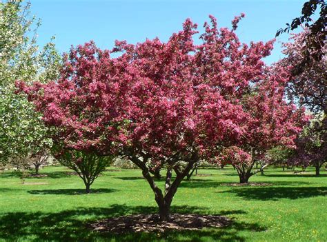 pictures of crabapple trees visit my garden flowering crabapples at the arboretum