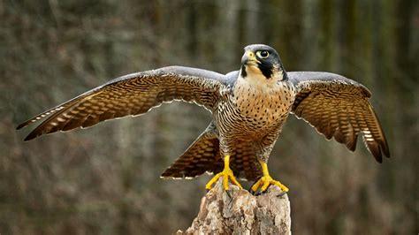 raptor program students debate eagles  falcons  nbc