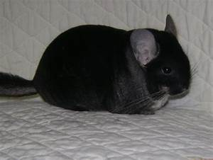 black velvet chinchilla. | Chinchillas | Pinterest