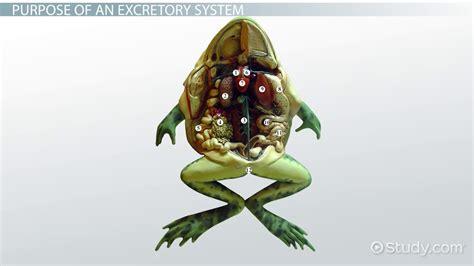 amphibians excretory system video lesson transcript